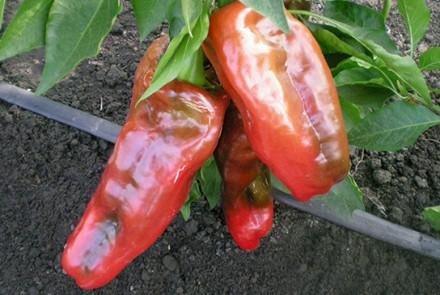 Выращивание перца по современной технологии