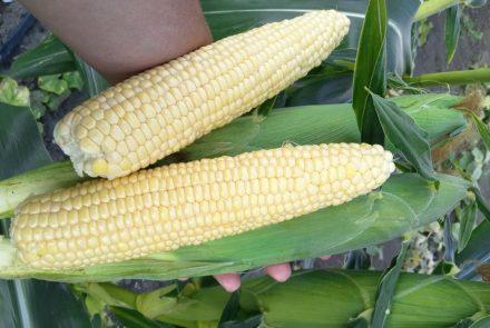 Капуста, кукуруза
